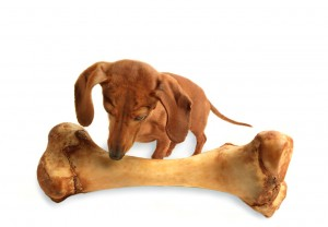 dog with huge bone