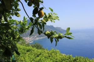 Lemons growing over the Amalfi Coast